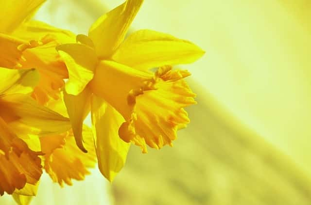 A Few Facts about Daffodils