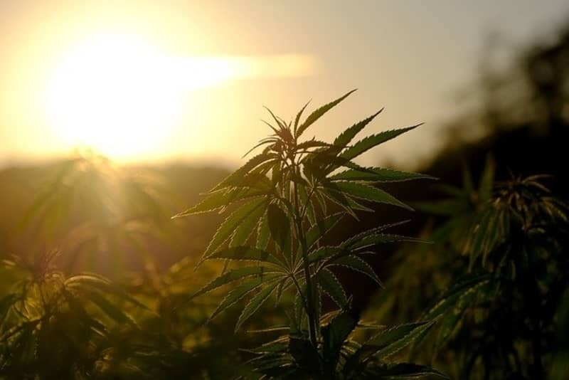 What is Hemp and Why is it Useful?