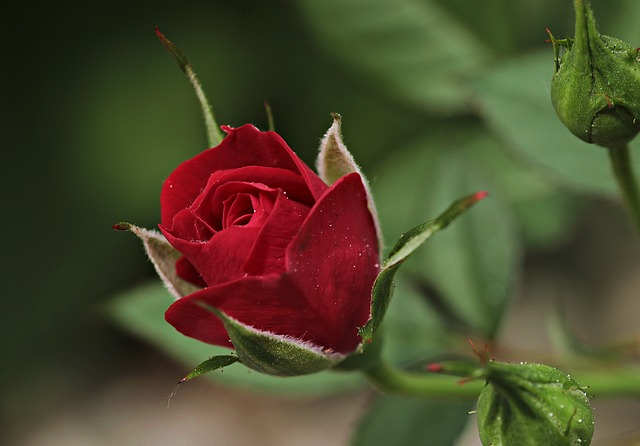 Top Tips for growing Roses