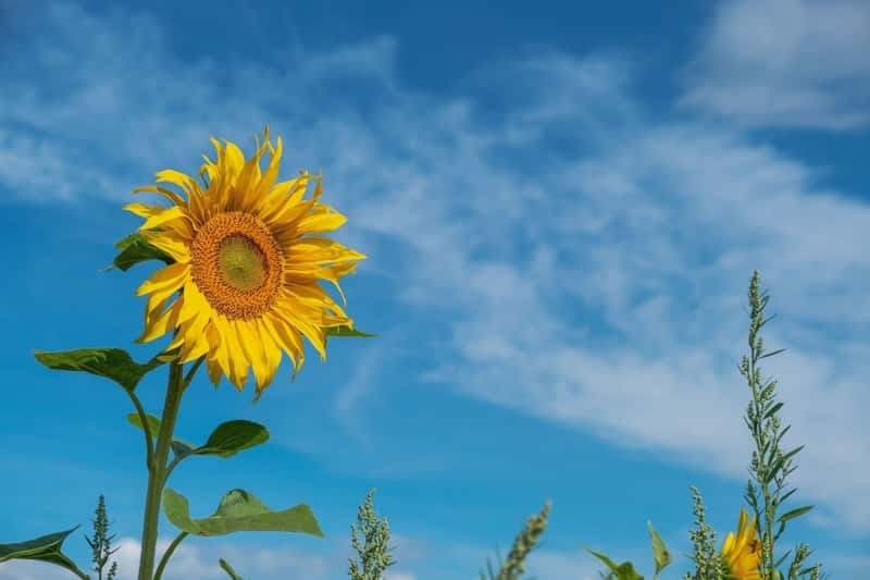 Sunflower growing with kids