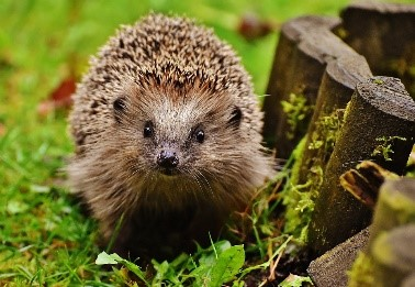 Hedghogs in the garden