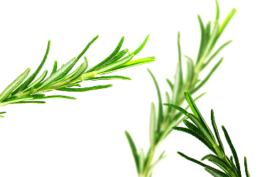 Rosemary growing tips